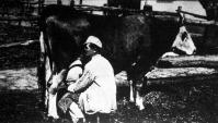 Tehenet fej a fegyenc a hartai rabgazdaságban
