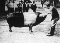 """Egy békési vendéglős """"Tuszi"""" nevű disznója 501 kg."""