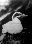 A bajonetcsőrű madár