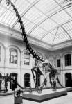 A Brachiosaurus brancai Jan. felállított csontváza a berlini természettudományi múzeumban