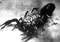 A skorpiócsemeték ott is maradnak az anyaállat hátán mindaddig, amíg csak teljesen kifejlődnek