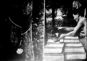 Megcsapolt gumifa. Ilyen bevágásokat ejtenek a kaucsukfa törzsén az ültetvény munkásai.