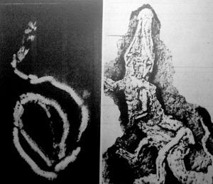 Az új technikai eljárások során immár a Röntgen-fényképezést is felhasználják: képünk egy őskígyóról készült Röntgen-felvétel.