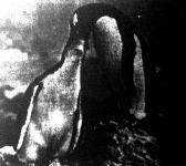 Pingvinetetés