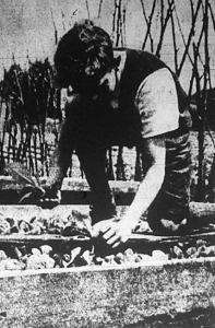 A 6-8 cm magas dohánypalánták előkészítése kiültetésre