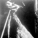 A függőcinke a maga csodálatos fészkét valami lelógó fűzfaágra vagy nyárfaágra szövi rá.