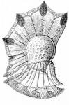 Ornithocercus Magnificus