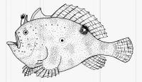 Antennarius