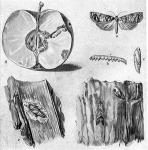 Almamoly (Carpocarpsa pomonella L.) (a), hernyója (b), bábja (c), férges alma (d), báb az almafa kérge alatt (e), kérgen ülő lepke (f)