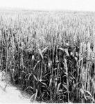 A sörárpa az éghajlat és az időjárási elemek iránt igényesebb, mint a takarmányárpa