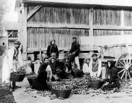 Kukoricamorzsolás a béllyei uradalomban.