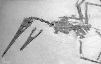 Pterodactylus ornithostoma
