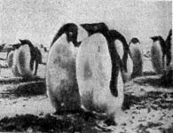 Pinguinek a déli sarkvidéken