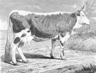 Bonyhádi tájfajta tehén