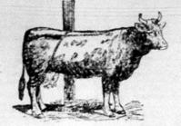 A rúgós tehén megkötése
