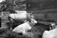 Mezőségi fajta fiatal bikák