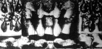 Angol sertések husából rendezett kiállítás