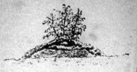 Halmocskára ültetett burgonya