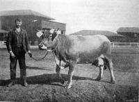 Négyéves borzderes tehén, mely első díjat nyert
