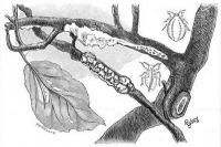 Vértetű (Schizoneura lanigera Hfg.)