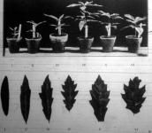 Ugyanazon Bartram-tölgy csemetéi és ezek levelei