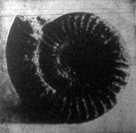 Az ammonit. Megkövesedett kagylóhéj. Azt hitték, hogy a ki a nyakán hordja, megálmodja a jövőjét