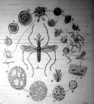 A maláriás élősdi fejlődése.