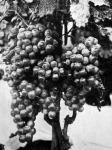 Cserépben nevelt szőlő a Katona-telepről Kecskemét mellett (kertészeti kiállítás)