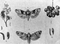 Nyerges és tarka szőlőmoly (Cochylis ambiguella Hb.) hernyójával és bábjával.