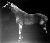 Mirobolant, egy Belgiumban vásárolt angol telivér mén, amellyel először kísérleteztek a kisbéri állami ménesekben.