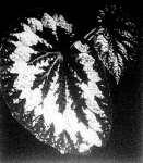 A királybegónia levele. A nagy, sötétzöld levélen széles ezüstös öv vonul körül, mely érces fényben ragyog