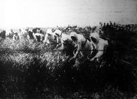 Aratás Romániában a németek vezetése alatt: