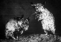 A gyapjas chincilla (chincilla langier Molina), melynek bundájából a legszebb és legdivatosabb prém készül, kicsiny, házinyul nagyságu állat, mely délamerikában él.