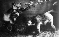 A koála vagy erszényes medve. ausztráliának egyik legfurcsább állata, mely a magas fák koronájában tartózkodik. A nöstények rendesen csak egy kölyke van, amelyet, miután az erszényből kinőtt, még sokáig cipel magával vagy vállán.