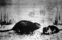 A fakó pézsmapocok (fiber zibethicus L.) Északamerika nagyobb tavaiban csöndes folyásu vizeiben és füves-nádas mocsaraiban tanyázik. Tömött, fényes és selymeslágy bundájáért vadászszák.