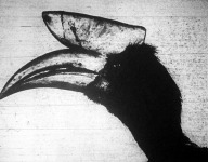 A jávai szarvascsőrű madár