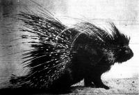 Tarajos sül, a morcos pofájú szörnyeteg