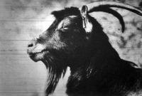 Az egyiptomi rövidfülű kecske, melynek hű képmása már a hatezer év előtti egyiptomi műemlékekben is található
