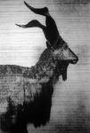 A pödröttszarvú kecske