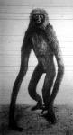 A gibbon-majom