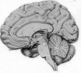 Az emberi agy keresztmetszete