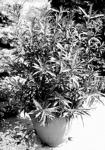 Az oleander cserépben, egy virágoskertben