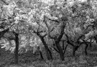 Gyümölcsös tavasszal