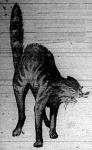 Az angóra macska dühös nyávogással, harcrakészen várja támadóját