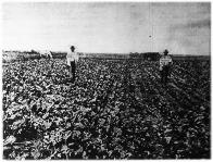 A műtrágyák termésfokozó hatása a takarmányrépa termelésére