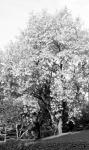 A fehér akácfa virágba borulva