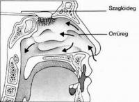 Az emberi orr belső felépítése