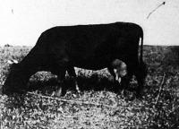 Egy kiváló példány a vörös dán marhafajtából