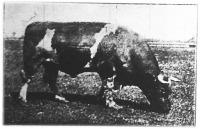 Dorus pirostarka hollandi bika, mely tízszer kapott első díjat.