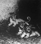 Tigris és oroszlánkölykök